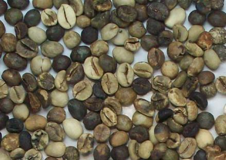 green bean kualitas jelek