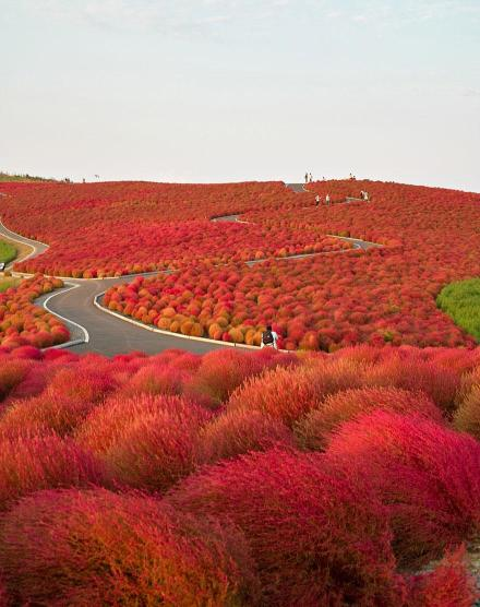 Hitachi Seaside Park, Jepang