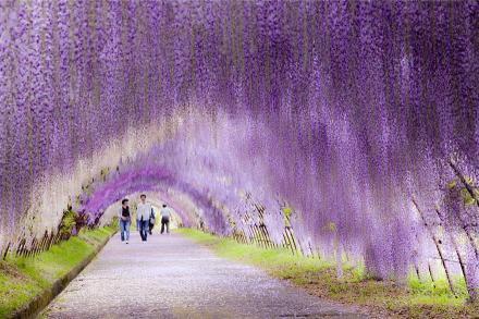 Terowongan Bunga Wisteria Jepang