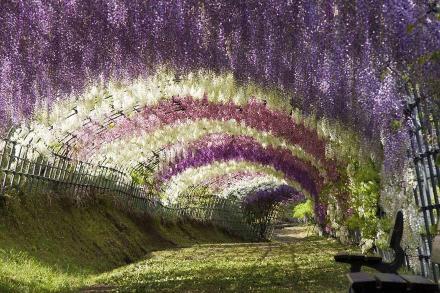 Terowongan Bunga Wisteria, Jepang