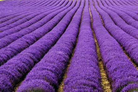 Lapangan Lavender di Inggris dan Perancis