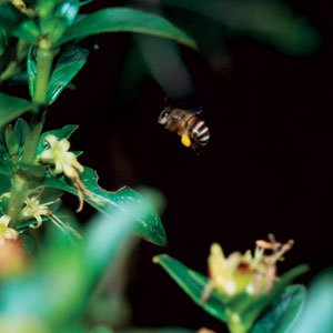 Lebah Gunung - Apis nuluensis