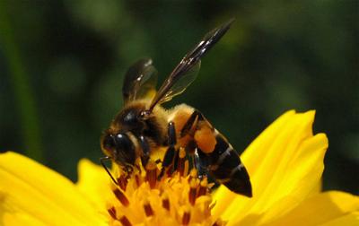 lebah hutan