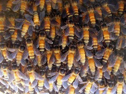 lebah hutan 5