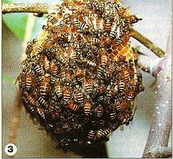 Lebah Kecil (Apis andreniform)