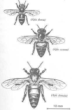 perbandingan ukuran jenis lebah